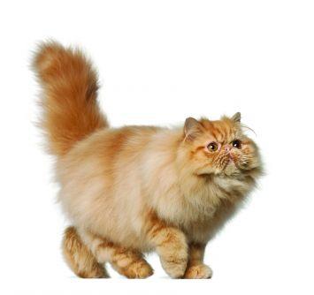 Nega o persijskoj mački